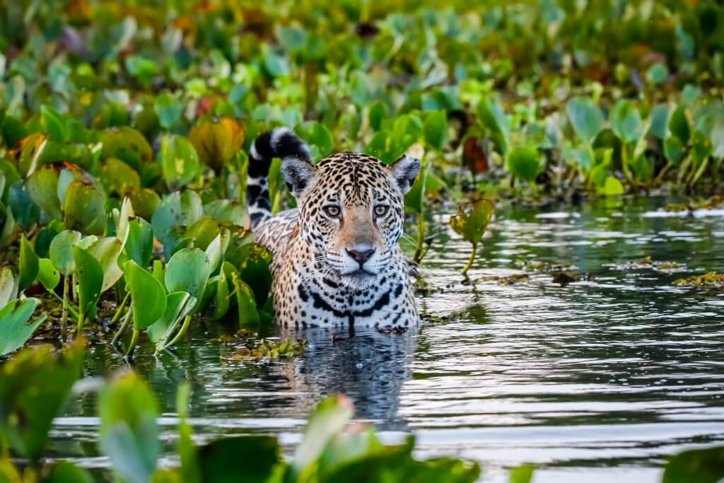 jaguar in the Pantanal Wetlands, Brazil