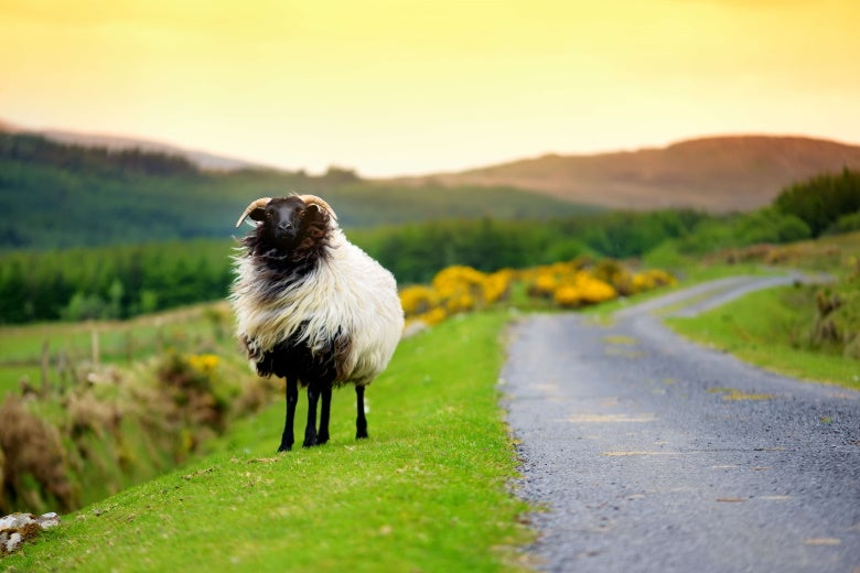 sheep by a road in ireland