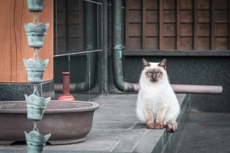 Cat in Japanese temple