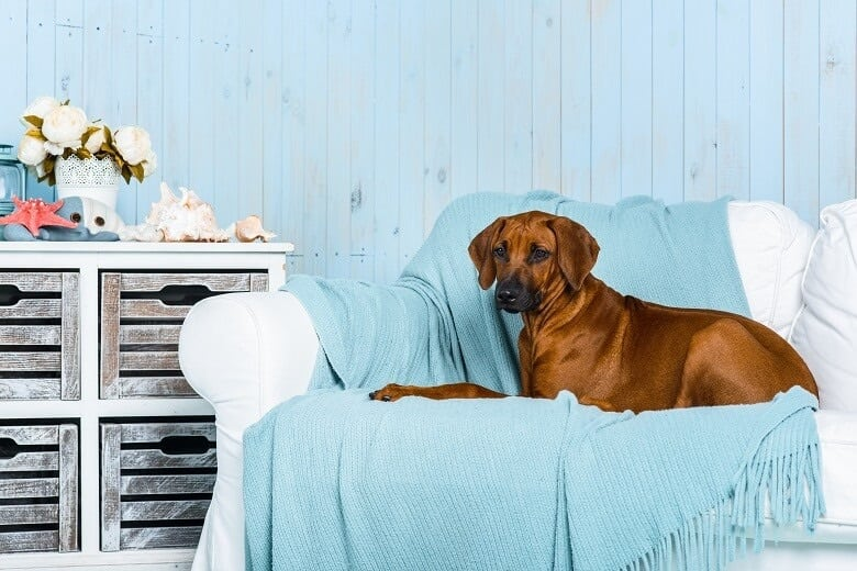 A Rhodesian Ridgeback on a sofa