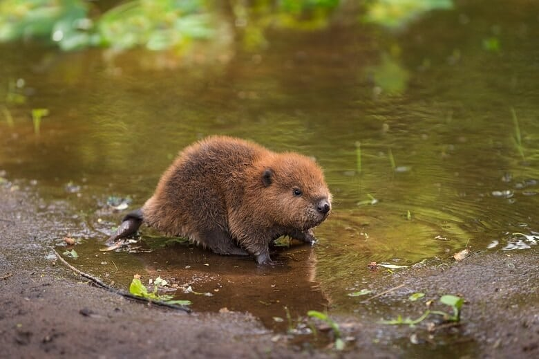 A baby beaver (kit)