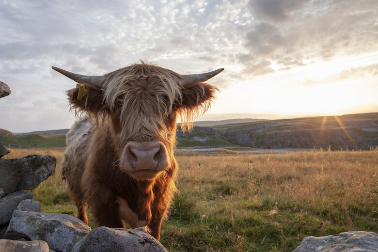 highland cow in the yorkshire dales