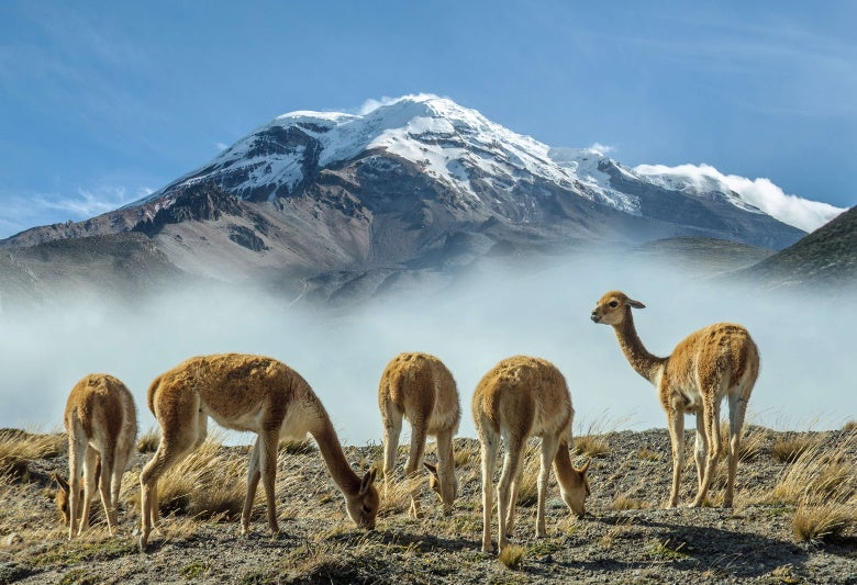 Vicuñas at the foot of the Chimborazo volcano